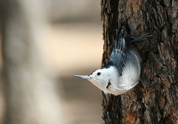 white_breasted_Nuthatch