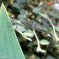 Agrion élégant - Ischnura elegans - (Demoiselle)
