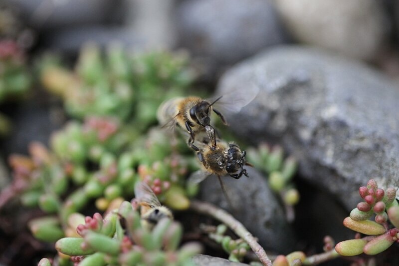 Les abeilles nettoient les cadavres