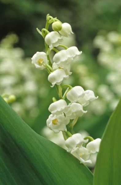 muguet_renaudineau