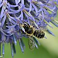 Osmie rouge • Osmia rufa • Famille des Megachilidae