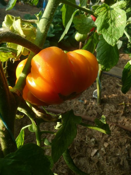 14-tomates serre (10)
