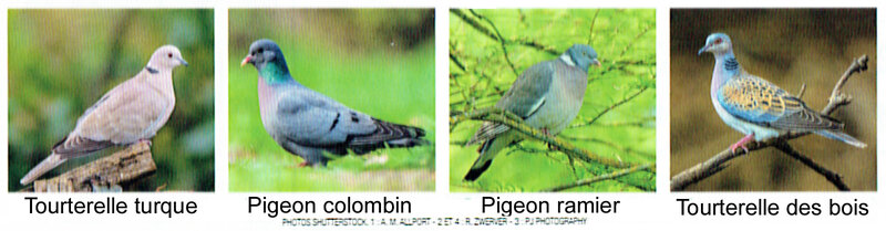 Diff_rents_Columbidae