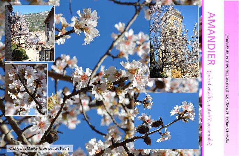 Amandier_elixir_floral_deva_marionfleurs