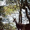 chamois - Rupicapra rupicapra (1)