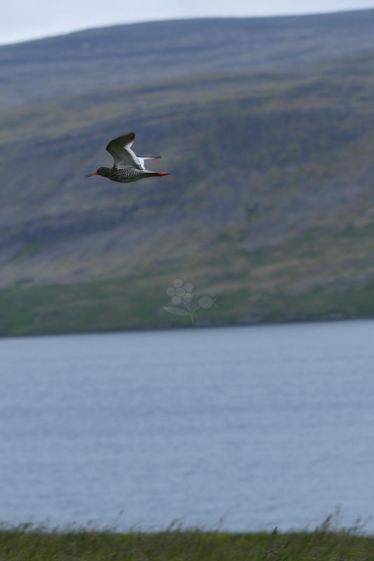 Islande, oiseau Chevalier Gambette_1