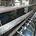 QUATTRO PORTONI (élevage de bufflonnes)