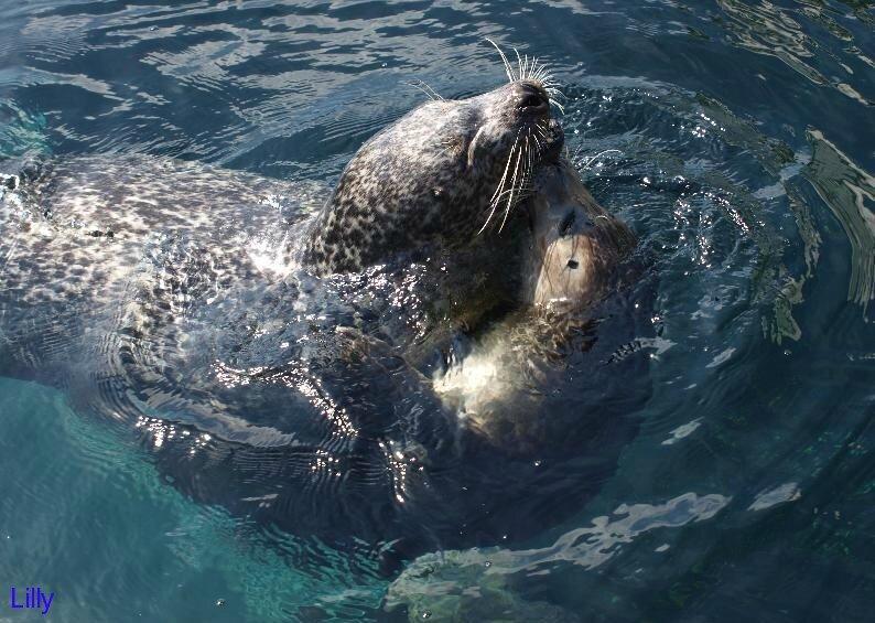 Les phoques à Océanopolis