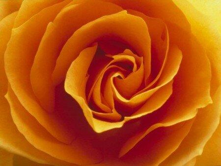 rose_jaune_fonc_