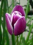 tulipe_fanny