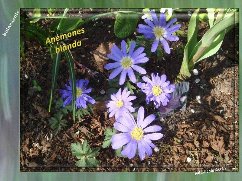 balanicole_2017_03_le printemps des vivaces_10_blanda2