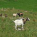et des chèvres aussi...