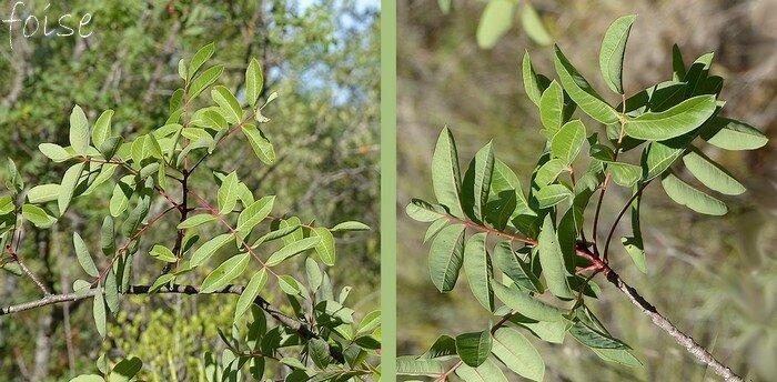 feuilles caduques imparipennées 5 à 11 folioles ovales-elliptiques entières