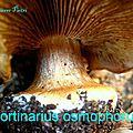 Cortinarius osmophorus