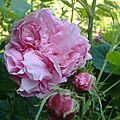 rosa centifolia major (rose des peintres) *