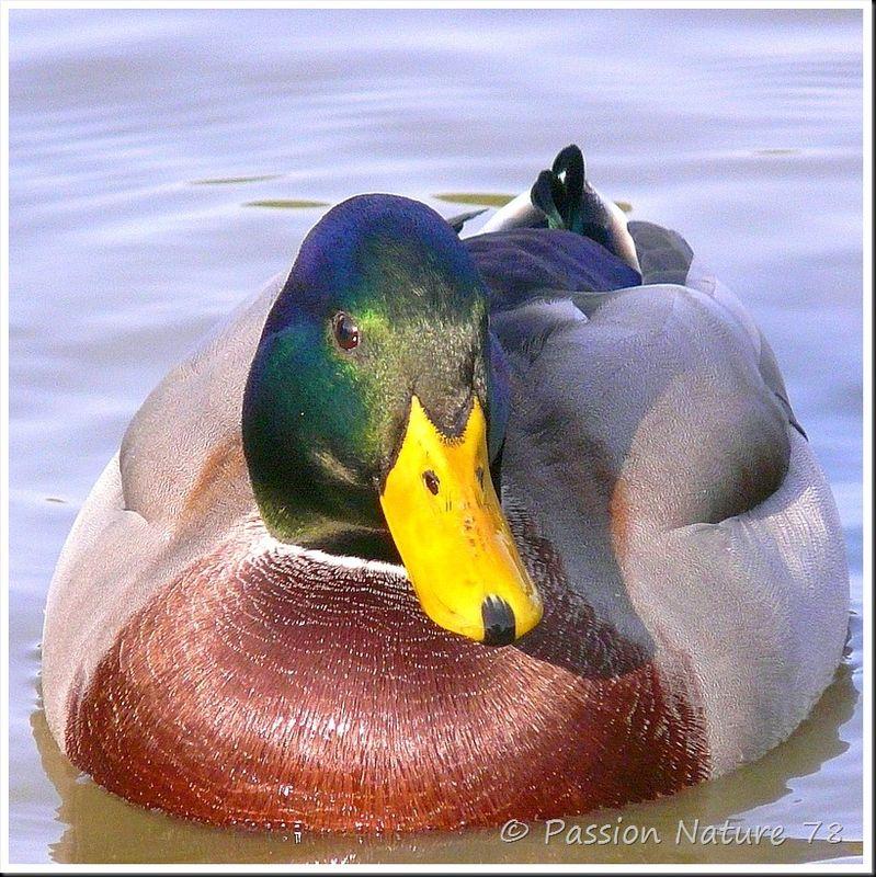 Canard colvert (9)