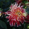 2009 08 07 Une fleur de dahlias