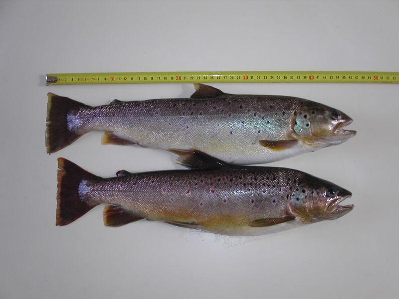 Truites 45 et 48cm