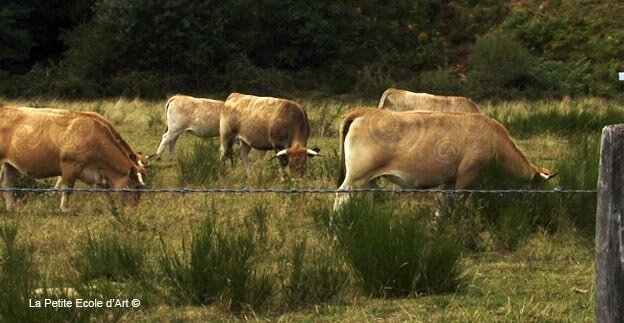 Signs on Cows Aubrac France