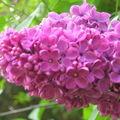Mon lilas