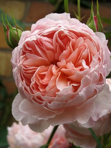 English roses by Susan Rushton