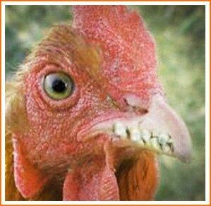 poule_dents