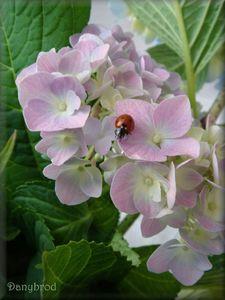 hortensias du jardin1
