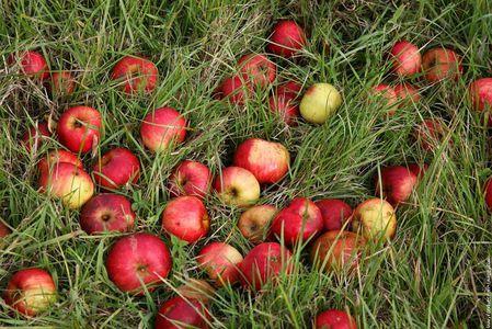 pommes_tomber_dans_les_pommes