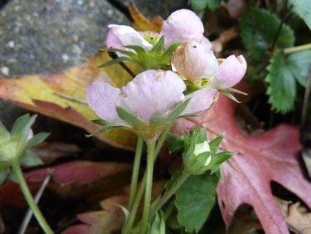 17novembre-fleurs de mon jardin (28)