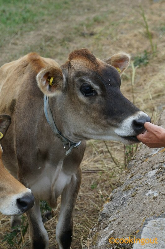 vaches-Jersey