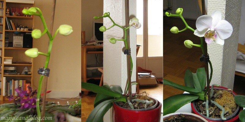 Notre orchidée fleurit