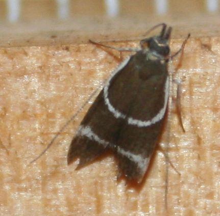 Taragmarcha laqueata borbonensis
