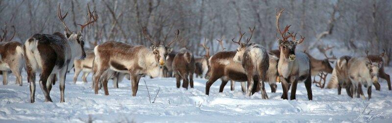 reindeers pano