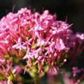 La centhrante (Lilas d'Espagne)