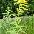 Verge d'or (Solidago canadensis), parc Huvier.