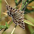 FAMILLE DES : Noctuidae