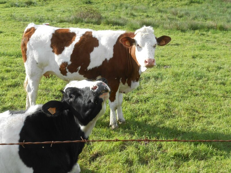 Vaches (2)