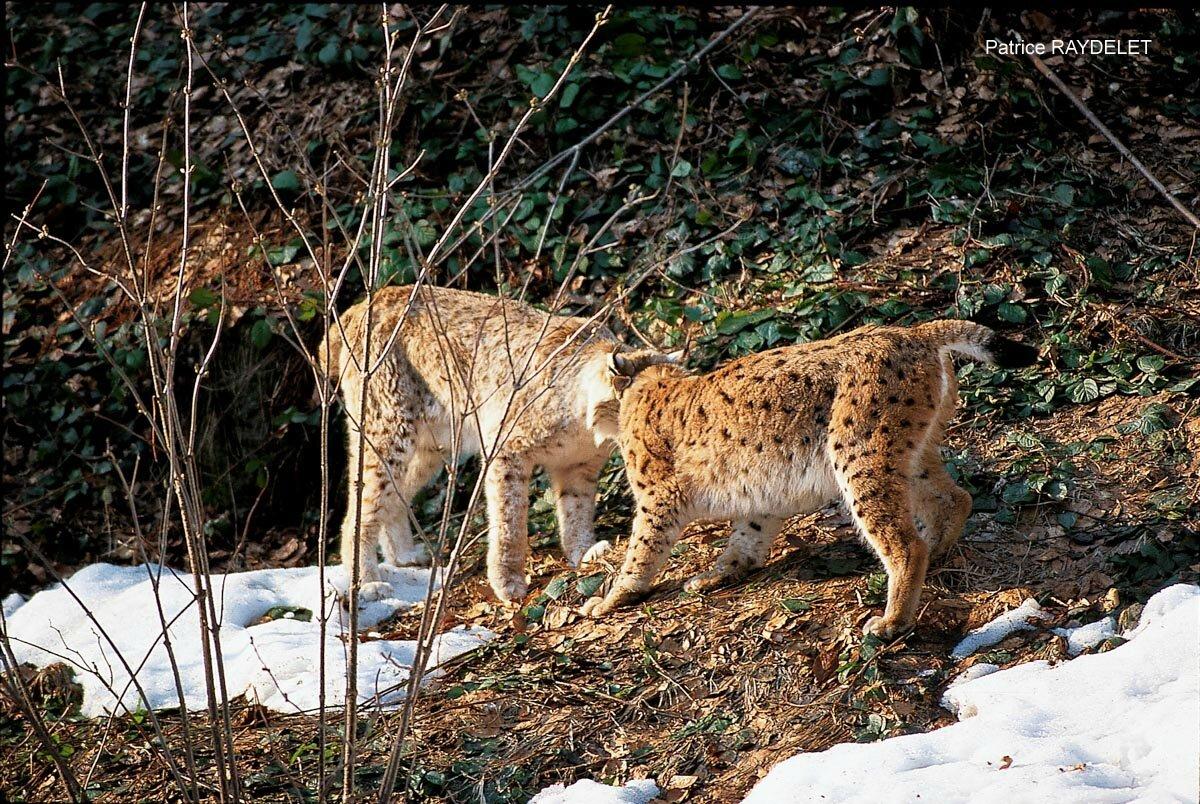 Patrice RAYDELET lynx boréal mâle femelle période amours