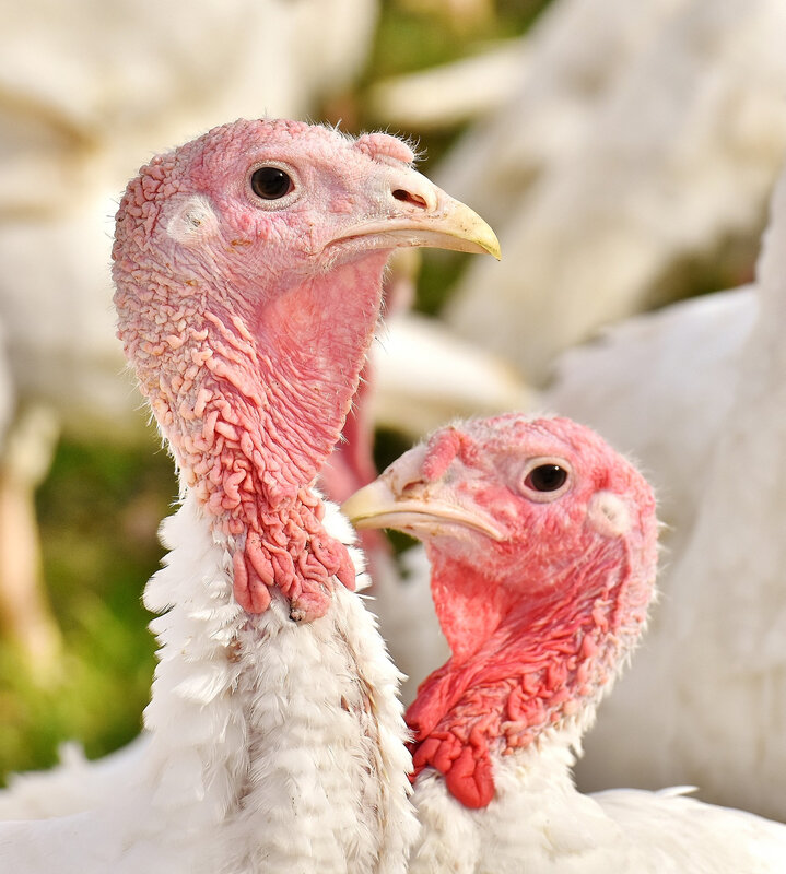 turkeys-2799403_1920