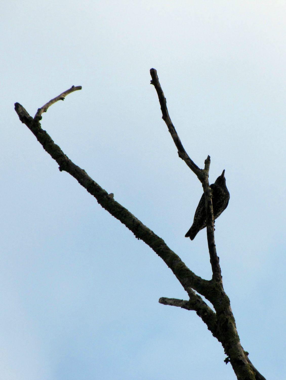 Oiseaux ile de re foto Mo2 (58)-h1500