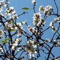 Les premières fleurs de pruniers ... au jardin hanbury
