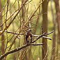 Grive litorne - Turdus pilaris (2)