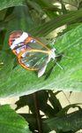 papillon_original