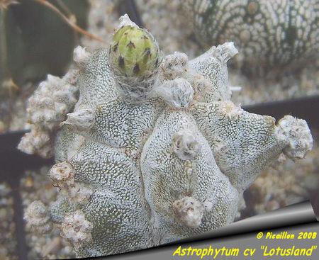 Astrophytum_cv__Lotusland__2008_bouton