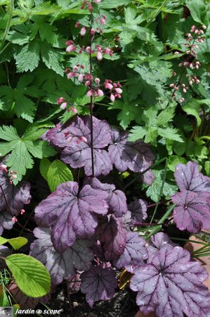 Heuchera-x-Sugar-Plum