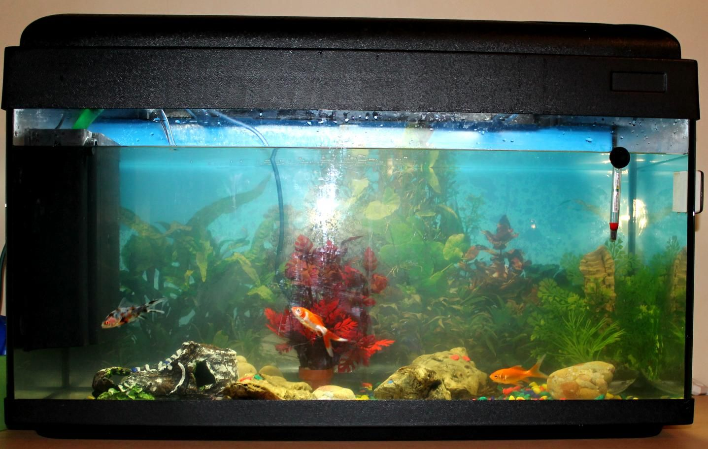 Aquarium avec poisson for L alimentation du poisson rouge