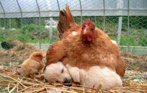 La poule couve