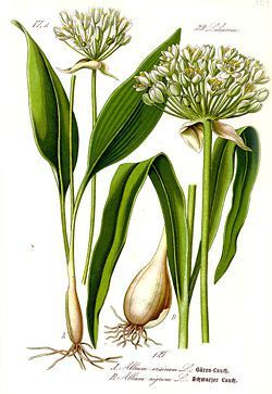 250px-illustration_allium_ursinum1