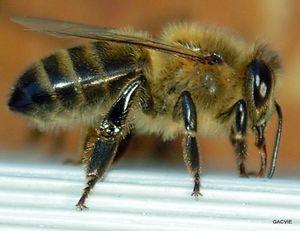 Abeille-bee-profil