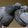 Deux pigeons....